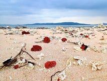 在一个白色海滩的红珊瑚 免版税库存照片
