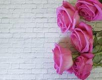 在一个白色砖墙上的桃红色玫瑰 免版税库存照片