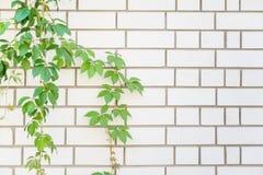 在一个白色砖墙上的绿色叶子 免版税图库摄影