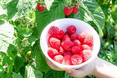 在一个白色碗的手上用可口成熟水多的莓露天 库存照片