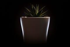 在一个白色罐的典雅的绿色花 可能 免版税图库摄影