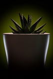 在一个白色罐的典雅的绿色花 可能 Kaktus 库存照片