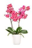 在一个白色罐的桃红色兰花有许多花的 库存图片