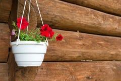 在一个白色罐的红色花喇叭花 库存图片