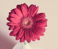 在一个白色花瓶的桃红色大丁草花在木书桌上 库存图片