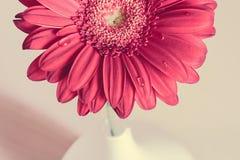 在一个白色花瓶的桃红色大丁草花在木书桌上 库存照片