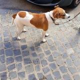 在一个皮带身分的狗在边路 免版税库存照片