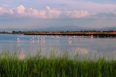 在一个盐湖的野生火鸟在切尔维亚附近意大利Parco della的Salina di切尔维亚 库存照片