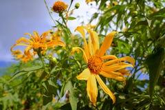 在一个盛开的向日葵 免版税库存照片