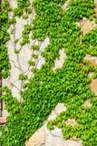 在一个石墙上的常春藤 免版税库存照片
