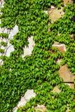 在一个石墙上的常春藤 库存图片