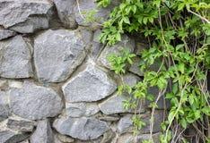 在一个石墙上的常春藤 免版税库存图片