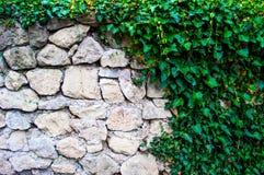 在一个石墙上的植物装饰常春藤 库存图片