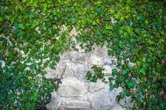 在一个石墙上的植物装饰常春藤 免版税库存照片