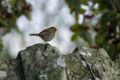 在一个石墙上的欧洲知更鸟在庭院里,苏格兰 图库摄影