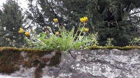 在一个石墙上的蒲公英 免版税图库摄影