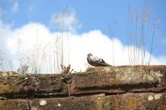 在一个石墙上的鸽子,德国 免版税库存照片