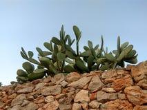 在一个石墙上的仙人掌篱芭 免版税库存照片