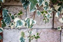 在一个石墙上的绿色上升的植物 库存图片