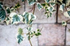 在一个石墙上的绿色上升的植物 免版税库存照片