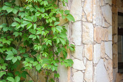 在一个石墙上的绿色常春藤在房子的角落 库存照片