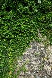 在一个石墙上的绿色常春藤 库存照片
