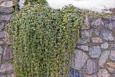 在一个石墙上的绿色装饰植物在雪下 图库摄影