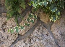 在一个石墙,美好的背景上的杂色的常春藤 图库摄影