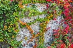 在一个石墙,美好的背景上的颜色常春藤 库存图片