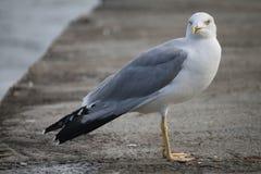 在一个石码头的海鸥在傲德萨 图库摄影