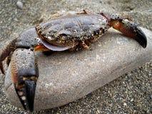 在一个石蟹的一个多岩石的海滩 图库摄影