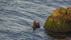 在一个石锥体的黑雁 图库摄影