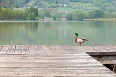在一个码头的一只鸭子有一个湖的在背景中 免版税库存照片
