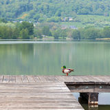 在一个码头的一只鸭子有一个湖的在背景中 图库摄影