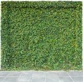 在一个砖篱芭和地板的装饰庭院常春藤在白色背景 免版税库存照片