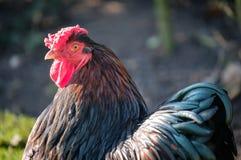 在一个私有庭院里看见的顶头观点的一只幼小Wynadotte公鸡 免版税库存照片