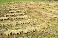 在一个种植园的新近地被割的米在南越 免版税库存照片