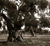 在一个种植园的老橄榄树在意大利普利亚 库存图片