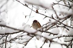 在一个积雪的分支的灰色麻雀在冬天 查寻食物在冬天 小的微弱的鸟,动物的保护 免版税库存照片
