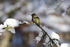 在一个积雪的分支的蜂鸟在冬天 库存图片