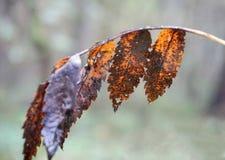 在一个稀薄的分支的变色的秋叶,与被弄脏的backgro 免版税库存图片