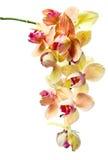 在一个空白背景查出的兰花 免版税图库摄影