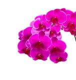 在一个空白背景查出的桃红色兰花 库存图片