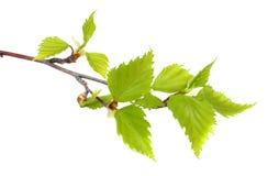 在一个空白背景查出的桦树叶子 免版税库存照片