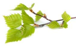 在一个空白背景查出的桦树叶子 库存图片