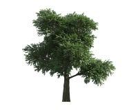 在一个空白背景查出的结构树 免版税库存图片