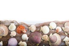 在一个空白背景查出的贝壳 库存照片