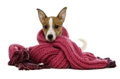 在一个空白背景的一条桃红色围巾包裹的杰克罗素狗 库存照片