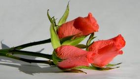 在一个空白背景的三朵桃红色玫瑰 免版税库存图片