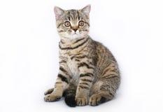 在一个空白背景的坐的小猫 免版税图库摄影